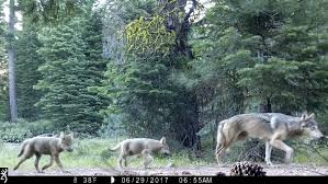 gray wolf pack. Unique Pack 2nd Gray Wolf Pack Seen In N California Pups Fathered By OR7 From Oregon Throughout Gray Wolf Pack