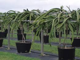 How To Grow Organic Dragon Fruits  Rahul Pagar  Pulse  LinkedInHow To Take Care Of Dragon Fruit Tree