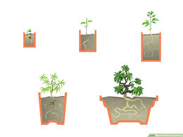 Tree Root Size Chart How To Start A Bonsai Tree With Pictures Wikihow