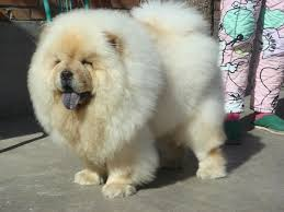 small fluffy dog breeds