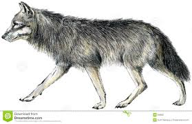 Drawn Wolf Drawn Wolf Stock Illustration Illustration Of Nature Scan 64662