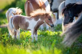 Miniature Horse Breed Profile