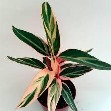 1 vaso maranta variegada tricolor rosa branca verde decoraçã. Maranta Tricolor Stromanthe Thalia Calathea Trialstar Orquidario 4 Estacoes