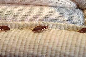 Bedbugs Images Regina Pest Control Company Sees Spike In Bed Bugs 980 Cjme