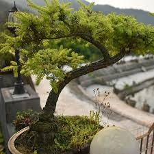 office bonsai. 20 juniper bonsai tree seeds potted flowers office purify the air absorb harmful gases f