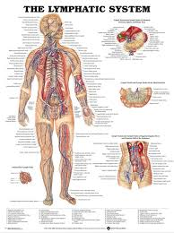 Anatomy Chart Muscular System 2019 Human Body Anatomical Chart Muscular System Campus Knowledge Biology Classroom Wall Painting Fabric Poster 17x13 020 From Kaka1688 9 73