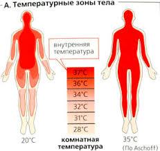 Тепловой баланс организма термогенез теплоотдача  А Температурные зоны тела
