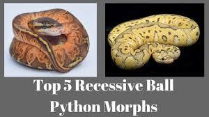 Ball Python Morph Chart Top 5 Recessive Ball Python Morphs Of 2018 Benjamins Exotics