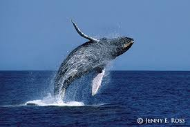 Image result for whale breaching