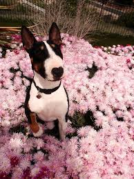 Flower | Bull terrier, English bull terriers, Bull terrier dog