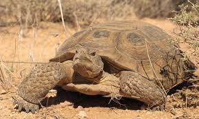 Tortoises Defenders Of Wildlife