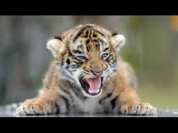 cute baby tiger. Brilliant Cute Laughtv Babytiger Babyanimal On Cute Baby Tiger Y