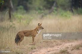 Small Picture Indian Wild Dog Or Dhole Stock Photo Getty Images