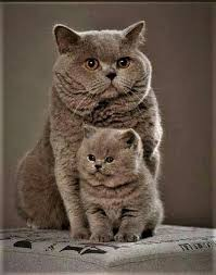One Shade Of Brown In British Shorthairs Their Are More