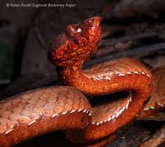 Made for a rugged and outgoing lifestyle. Scientists In India Find New Type Of Viper And It Looks Stunning