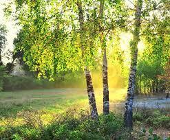 Birketræer i en sommer skov strålende ... | Stock foto | Colourbox