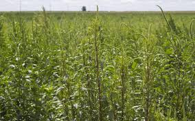 Palmer Amaranth Palmer Amaranth Found In North Dakota And A Group Effort Needed To