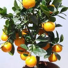 orange fruit plant at rs 40 plant