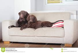two dogs on a sofa stock photo image of hotel friend 46006120