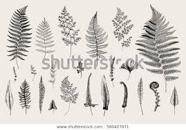 Set Ferns Vintage Vector Botanical Illustration Stock Vector