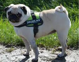 Julius K9 Harnesses Collars And Others K9harness Com Pug