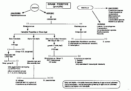 Gram Positive And Gram Negative Bacteria Flow Chart Www