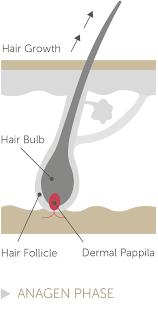 the hair growth cycle paxman hair