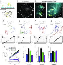 probing specific motor proteins using naody conjugated qds reveals limited transverse fluctuations during microtubule