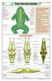 Frogs Nervous System For Zoology Chart