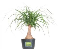 ... Large-size of Appealing Ponytail Palms Are One As Wells As Steel  Houseplant Collection And ...