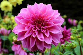 Image result for dahlia images