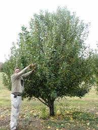 Best 25 Fast Growing Fruit Trees Ideas On Pinterest  Growing When Do Cherry Trees Bear Fruit