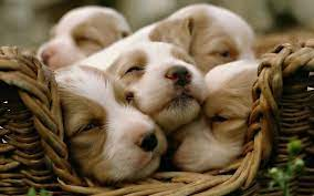 Cute Puppy Desktop Wallpapers on ...