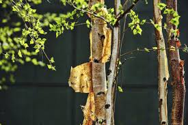 ling tree bark why is bark ling