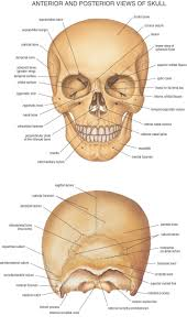 bone anatomy of head head bones anatomy human anatomy diagram        bone anatomy of head head bone anatomy human anatomy diagram