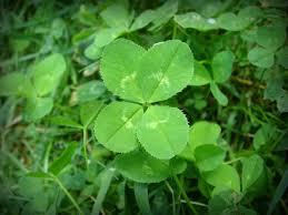 <b>Four</b>-<b>leaf clover</b> - Wikipedia