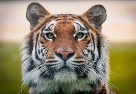 Über Tiger – auch