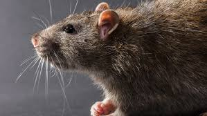 Rodents Lower Classifications 9 Key Differences Between Rats And Mice
