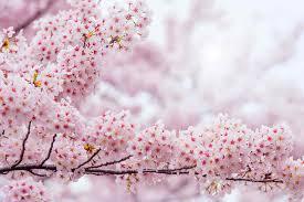 Bunga Sakura 7 Manfaat Bunga Sakura Untuk Kulit Wajah Dokter Sehat
