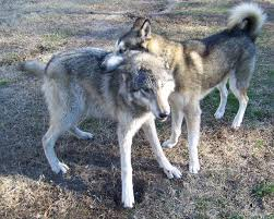 grey wolf size 13 facts about wolves and dogs that will blow your freakin mind
