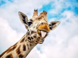 Image result for giraffe sticking out their tongue