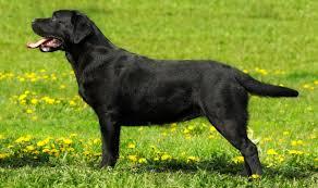 English Lab Your Guide To The English Labrador Retriever