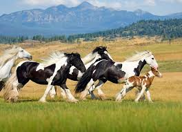 horses galloping in a field. Unique Galloping HOR 01 MB0051  Herd Of Gypsy Vanner Horses Galloping In Field  A M