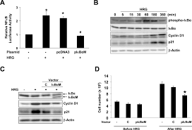heregulin β promotes breast cancer cell proliferation through rac   figure