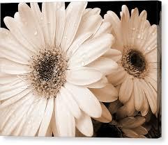 gerbera daisy canvas print sepia gerber daisy flowers by jennie marie schell on gerbera daisy canvas wall art with gerbera daisy canvas prints fine art america