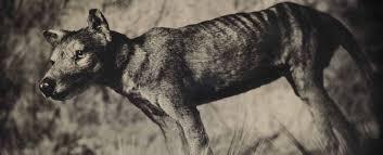 the de extinction fantasy decline of the empire species revival thylacine