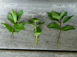 Herb Plant Identification Chart Do You Know Your Culinary Herbs Herb Identification Chart
