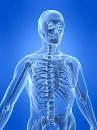 They are very large and strong and help support the weight of your body. The Human Skeletal System Live Science