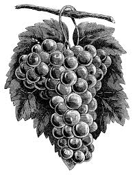 grapes clipart black and white. cluster grapes clipart, black and white graphics, vintage food clip art, printable fruit clipart o