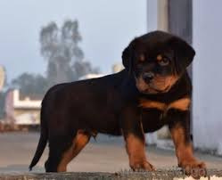 rottweiler puppies for